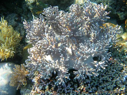 White-Coral